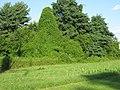 Persicaria perfoliata. invasive.jpg