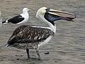 Peruvian Pelican RWD4.jpg