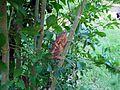 Petit caméléon rouge à La Saline (3464428373).jpg