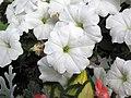 Petunia sp. (south of Sioux City, Iowa, USA) 3 (27753250043).jpg