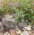 Phacelia crenulata 2.jpg