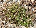 Phacelia rotundifolia 7.jpg