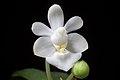 Phalaenopsis parishii fma. alba (x self) Rchb.f., Bot. Zeitung (Berlin) 23- 146 (1865) (34727718794).jpg