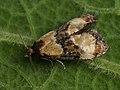 Phalonidia curvistrigana - Golden-rod conch (39514103480).jpg