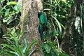 Pharomachrus mocinno Monteverde 14.jpg