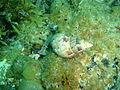 Phasianella australis P1222808.JPG
