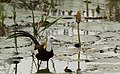 Pheasant-tailed Jacana 1.jpg