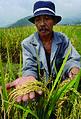 Philippines Rice (10713200293).jpg