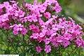 Phlox paniculata 3zz.jpg