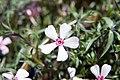 Phlox subulata Apple Blossom 3zz.jpg