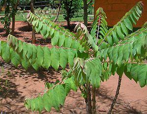 Phyllanthus acidus - Sapling