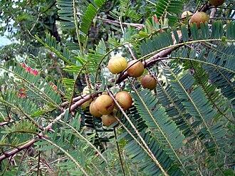 Phyllanthus emblica - Plant