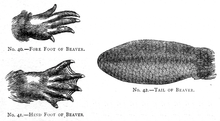 Illustration of a fore foot, a hind foot showing webbing, and the tail of a beaver