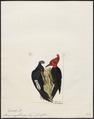 Picus magellanicus - 1820-1860 - Print - Iconographia Zoologica - Special Collections University of Amsterdam - UBA01 IZ18700115.tif
