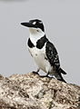 Pied Kingfisher, Ceryle rudis at Borakalalo National Park, South Africa (9822775353).jpg