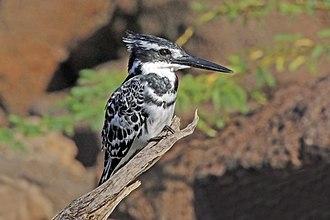 Pied kingfisher - Image: Pied kingfisher (Ceryle rudis rudis) male immature