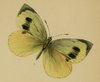 Pieris wollastoni-PD.png