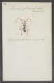 Piezocera - Print - Iconographia Zoologica - Special Collections University of Amsterdam - UBAINV0274 033 07 0002.tif