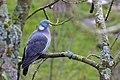 Pigeon (248936571).jpeg