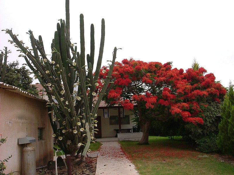 עץ פורח בחצר בית בכפר מימון