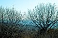 PikiWiki Israel 29259 almond Trees.jpg