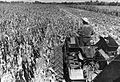 PikiWiki Israel 422 Kibutz Gan-Shmuel bs10- 10 גן-שמואל-קטיף התירס 1950-60.jpg