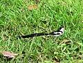 Pin-tailed wydah.jpg