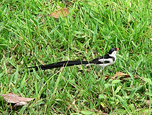 A black and white bird with a red bill and a very long black tail stands on a grassy lawn.
