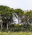 Pineta con eucaliptus allo Stagno di Platamona.jpg