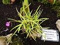 Pinguicula moctezumae, exhibition in Botanical garden Brno.JPG