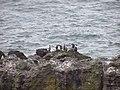 Pinguinos Humbold. en Playa Arena gruesa, Ancud - panoramio.jpg