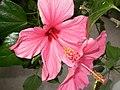 Pink Hibiscus Flower 1 (3985292965).jpg