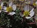 Pink buttercup, Beckwithia andersonii (=Ranunculus andersonii) (29899722547).jpg