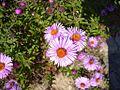 Pink garden flowers.jpg