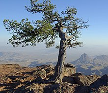 Pinus cembroides Chisos 1.jpg