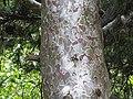 Pinus gerardiana India5.jpg