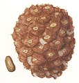 Pinus pinea cone illustration.jpg