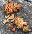 Pinus pumila cone eaten by Nucifraga caryocatactes.JPG