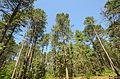 Pinus resinosa Papoose Creek Pines 1.jpg