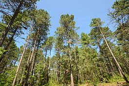 Pinus resinosa Papoose Creek Pines 1.jpg