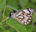 Pioneer or Caper White (Anaphaeis aurota) in Hyderabad, AP W IMG 0324.jpg