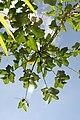 Piper auritum 39zz.jpg