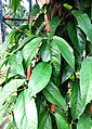 Piper retrofractum Pj DSC 1070.jpg