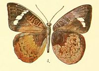 Pl.02-04-Euriphene mawamba (Bethune-Baker, 1908).JPG