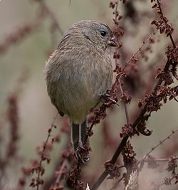 Plain-colored seedeater-(F).jpg
