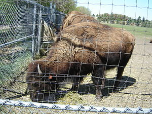 History of bison conservation in Canada - Domesticated bison at the Plains Bison Forestry Farm. Early conservation efforts were undermined by the federal government's goal of domesticating northern bison populations for commercial purposes.