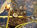 Planorbarius corneus in the Teufelsbruch swamp.jpg