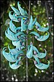 Plant - Jadebloem - Strongylodon macrobotrys-01.jpg