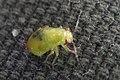Plant Bug (Miridae) - Guelph, Ontario.jpg
