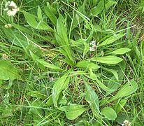 Plantago lanceolata4 ies.jpg